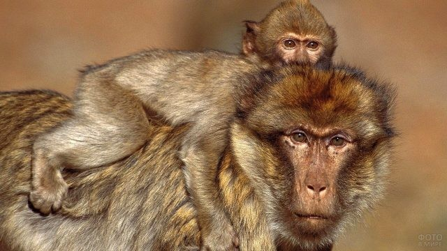 Малыш яванской макаки сидит верхом на маме