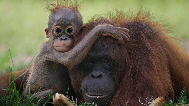 Малыш орангутан обнимает свою маму