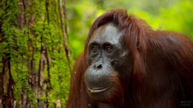 Морда орангутана крупным планом