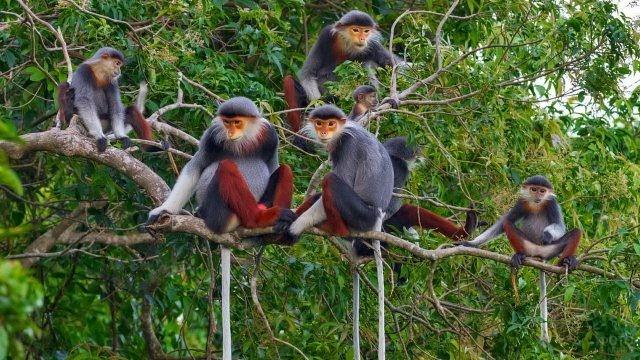 Немейские тонкотелые обезьяны