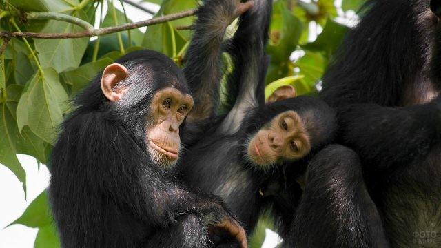 Одна шимпанзе смотрит на другую