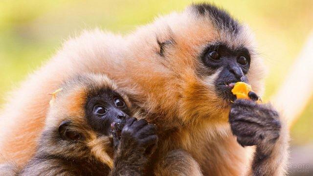Семья гиббонов ест мандарин