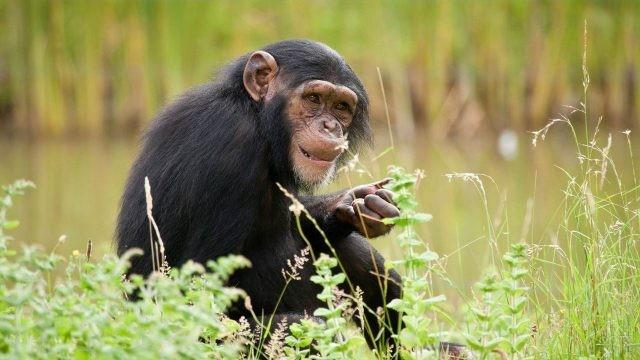 Шимпанзе сидит в траве