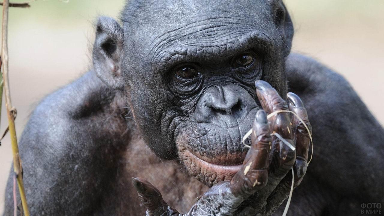 Старая обезьяна бонобо крупным планом
