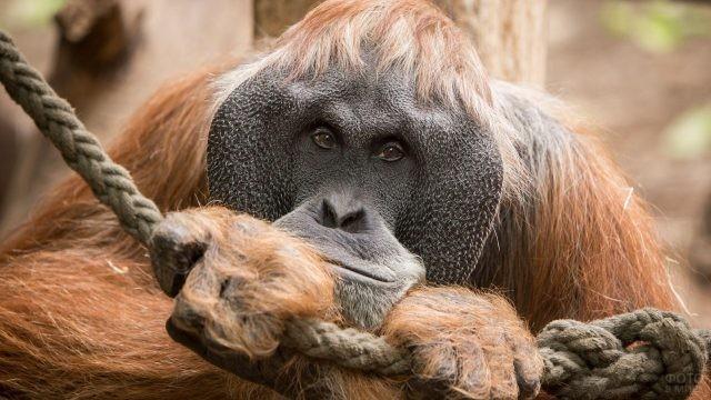 Суматранский орангутан крупным планом