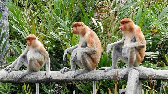 Три обезьяны породы носач
