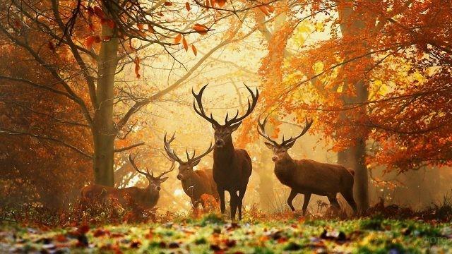 Четыре оленя в Беловежской Пуще осенью