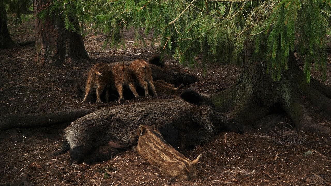 Детёныши диких кабанов сосут своих мам под елью в Беловежской пуще