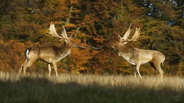 Два оленя в Беловежской пуще