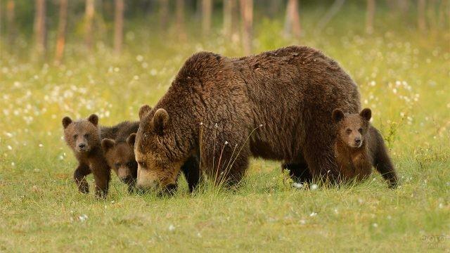 Медведица с тремя медвежатами в Беловежской пуще