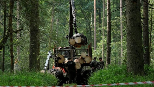 Мужчины грузят брёвна после вырубки в польской части Беловежской пущи
