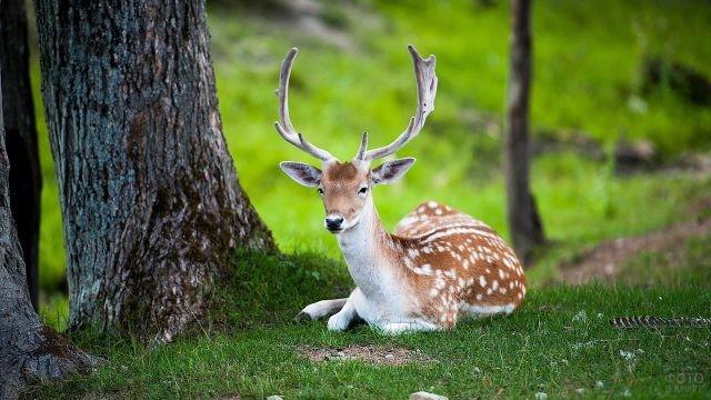 Пятнистый олень отдыхает возле дерева в Беловежской Пуще