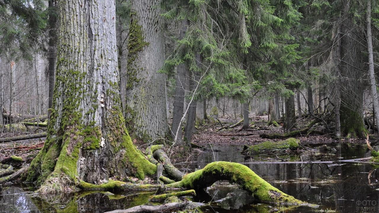 Реликтовый лес Беловежской пущи
