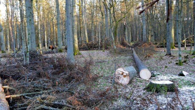 Вырубка реликтового леса в Беловежской пуще