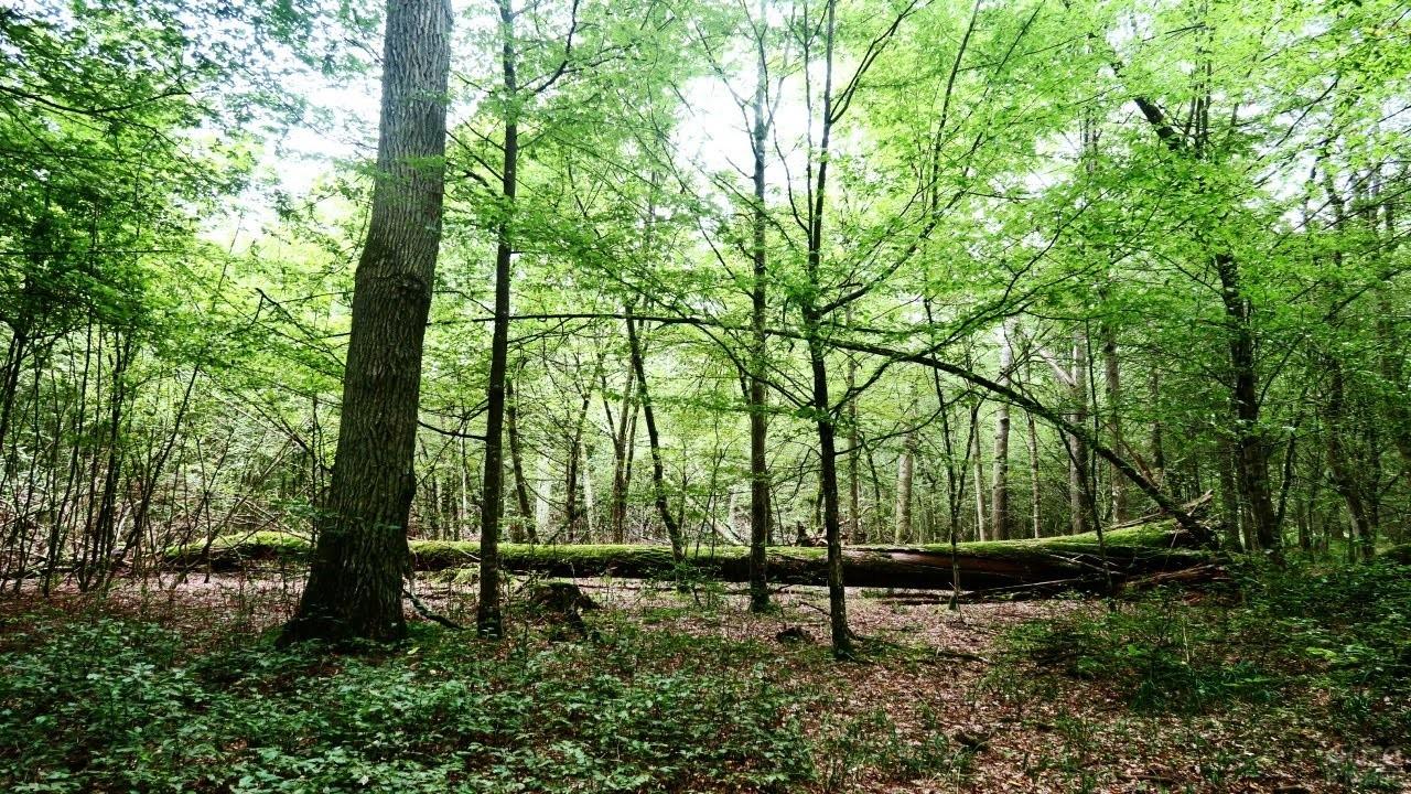Заваленное дерево в реликтовом лесу в Беловежской пуще