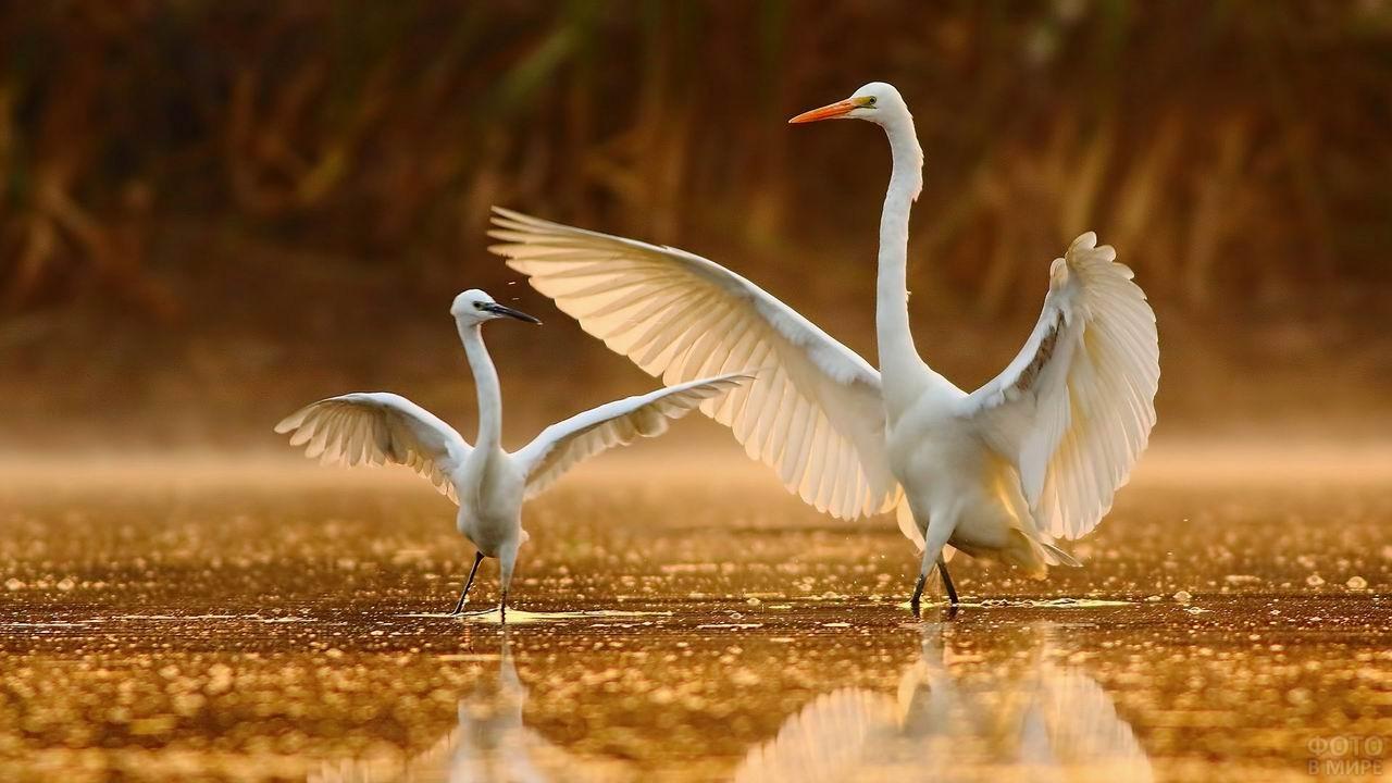Белые журавли расправили крылья