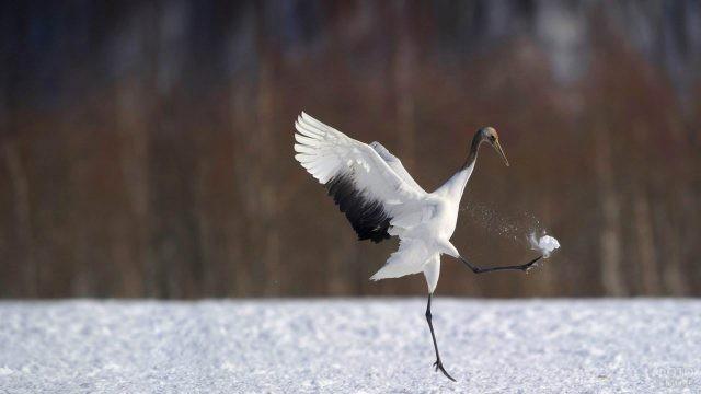 Белый журавль пинает снег