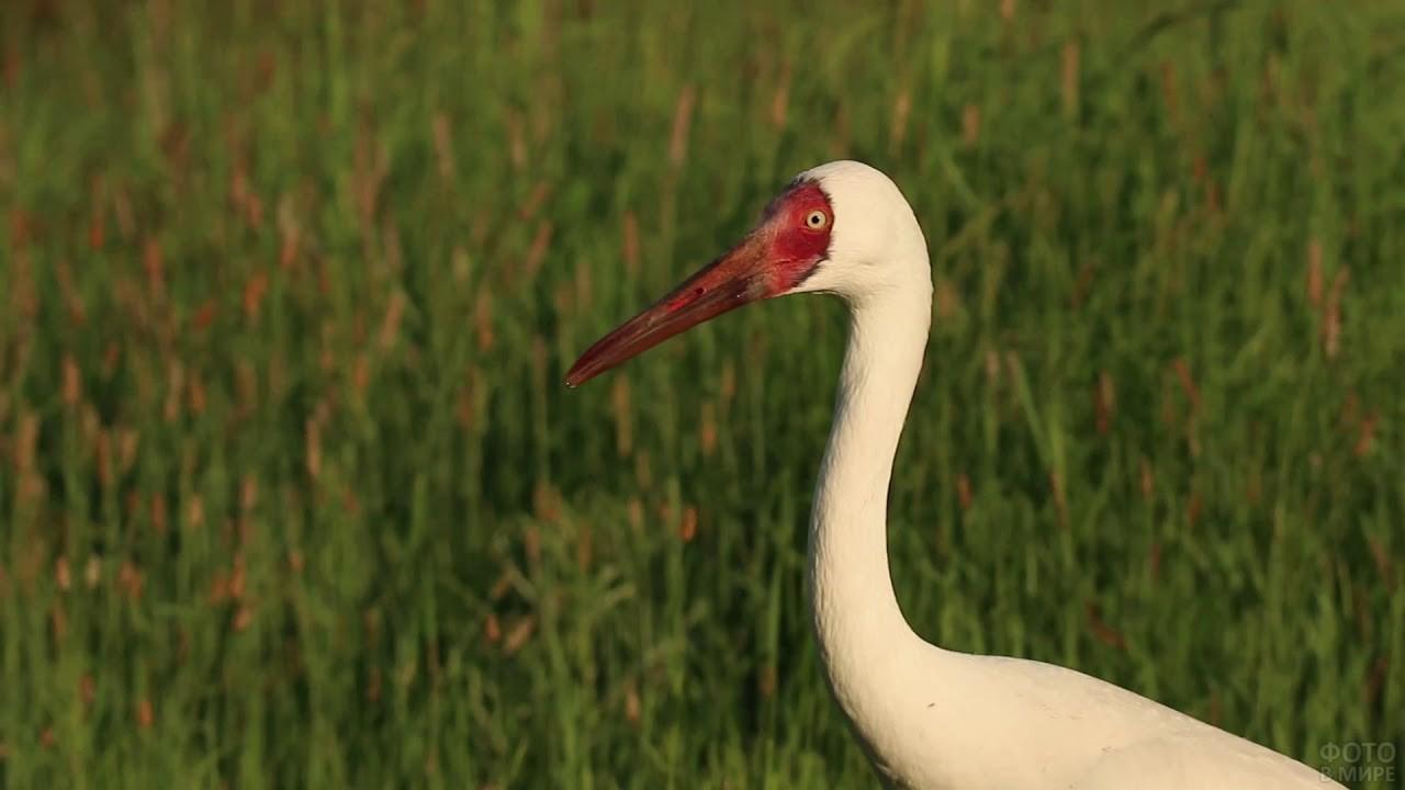 Белый журавль с красным клювом