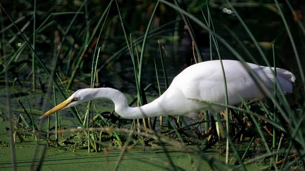 Белый журавль стоит в траве