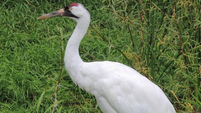 Белый журавль стоит в зелёной траве