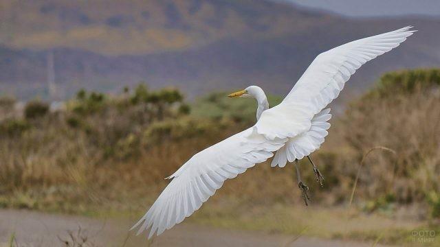 Белый журавль в полёте