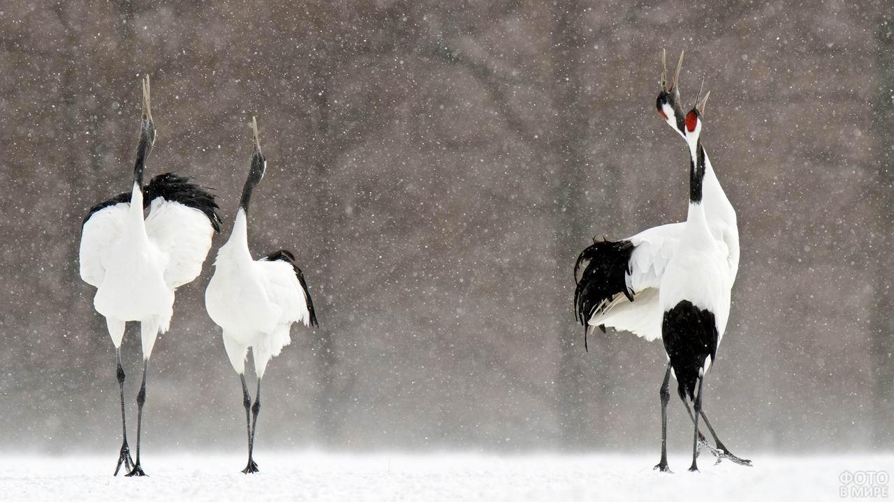 Три японских журавля стоят под снегом