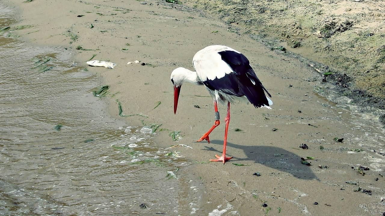 Журавль ходит по берегу