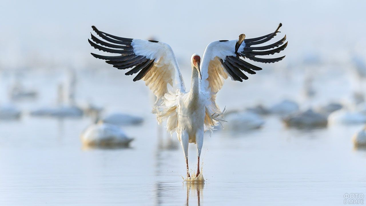 Журавль над водой расправил крылья