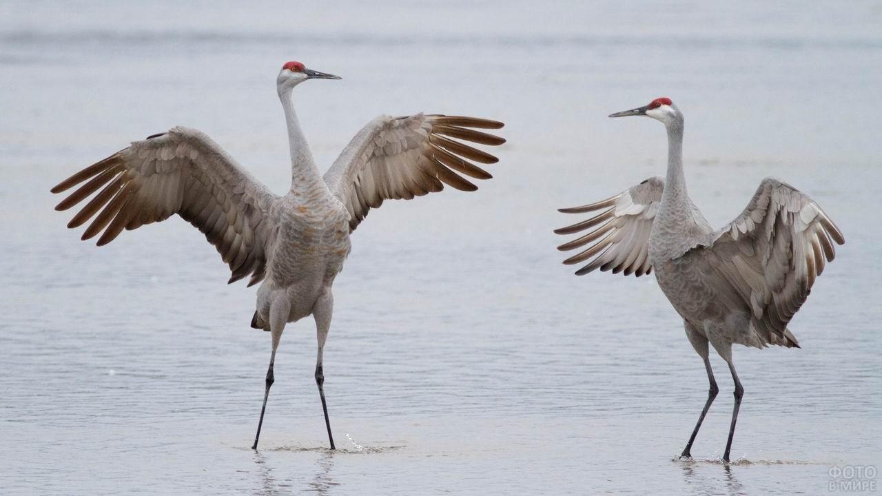Журавли стоят в воде расправив крылья
