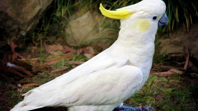 Белый попугайчик с жёлтым хохолком