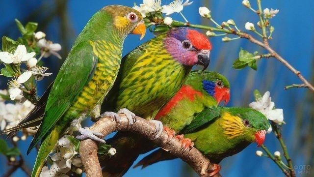Четыре попугая сидят на цветущем дереве
