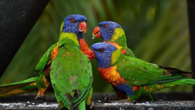 Четыре попугая собрались вместе