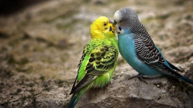 Два целующихся волнистых попугайчика