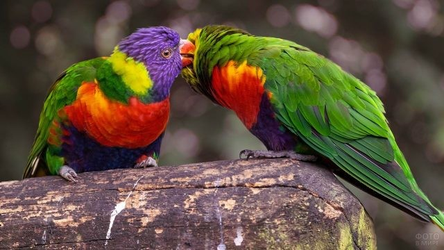Два лориевых попугая