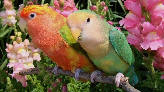 Два попугайчика на фоне цветов