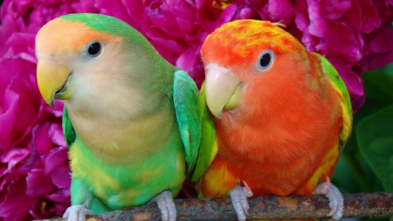 Два попугайчика на фоне розовых цветов