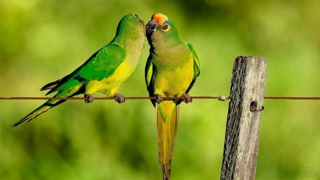 Два попугайчика сидят на натянутой проволке