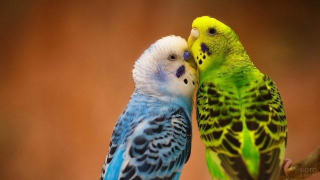 Два волнистых попугайчика сидят вместе