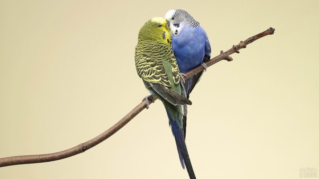 Два волнистых попугая сидят на краю ветки