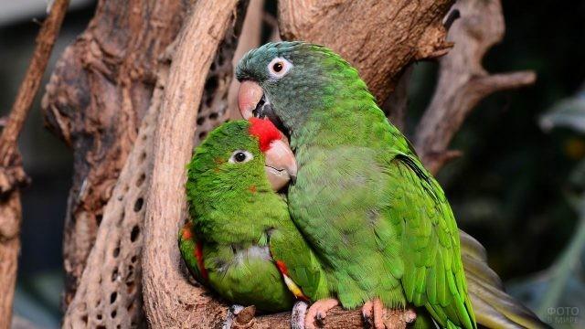 Два зелёных попугая чистят друг другу пёрышки