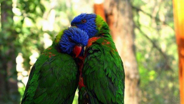 Два зелёных попугая с синими головами