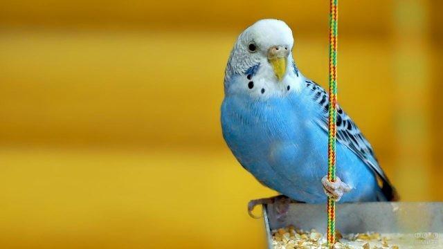 Голубой попугайчик держится за тросик