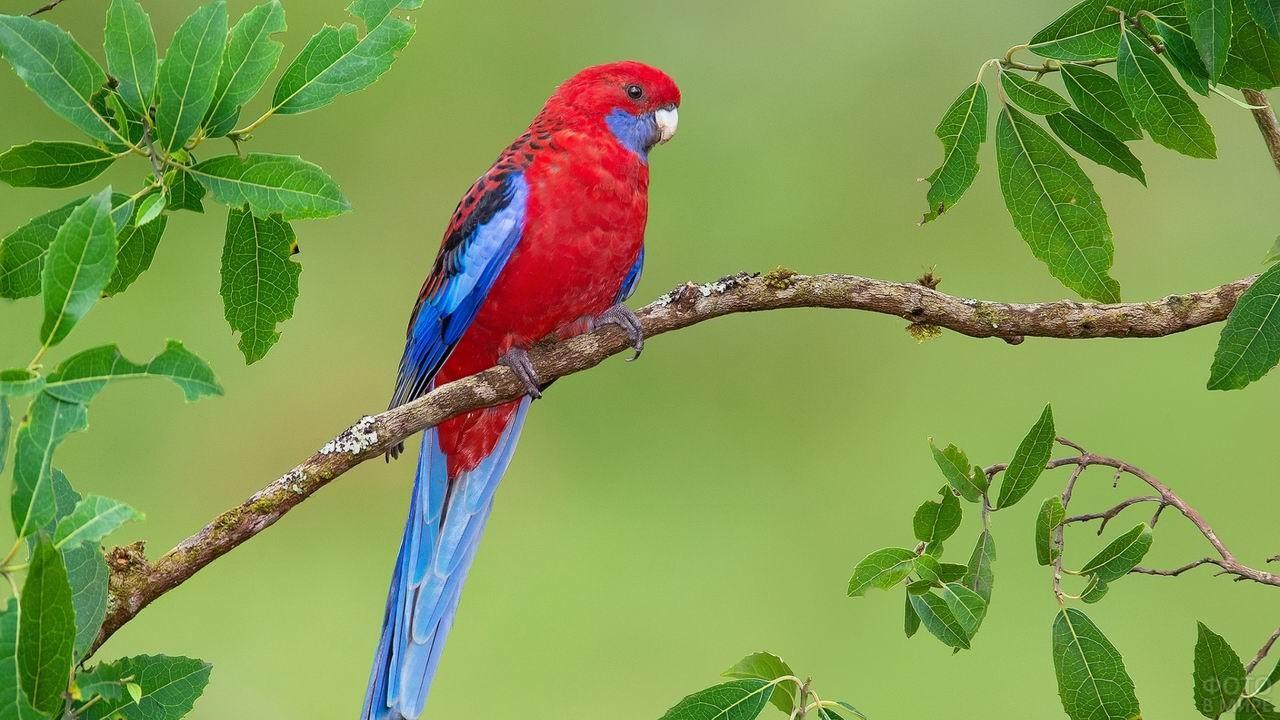 Красный попугай с синим хвостом и крыльями