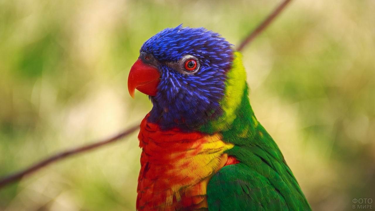 Лориевый попугайчик крупным планом