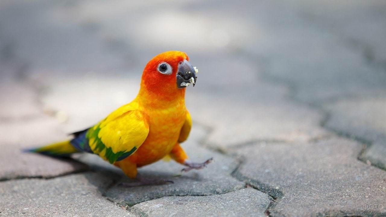 Оранжевый попугай ходит по тротуарной плитке