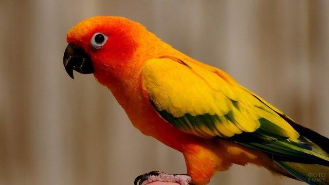 Оранжевый попугай крупным планом