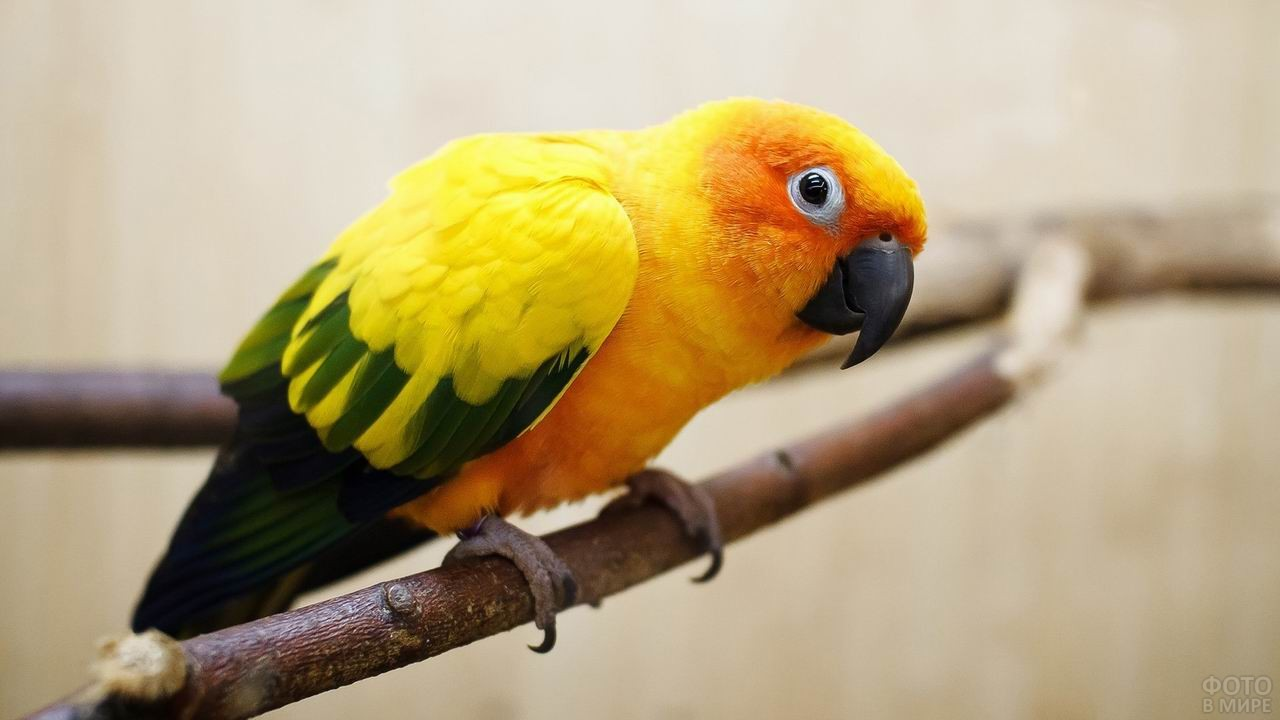 Оранжевый попугай сидит на ветке