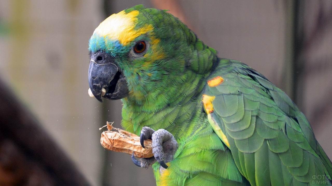 Попугай ест орешек