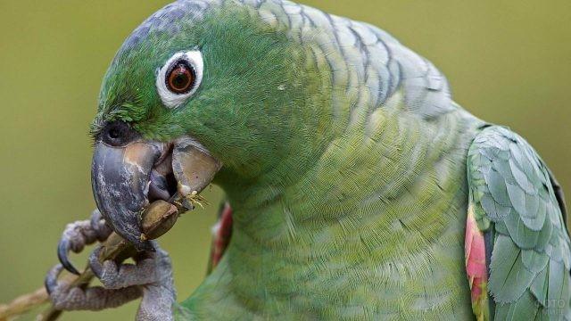 Попугай ест почки на веточке