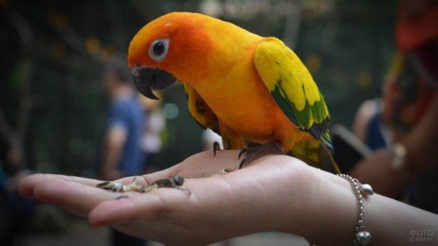 Попугай ест с рук человека